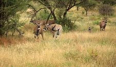 Free Herd Of Gemsbok Gazelle Stock Photography - 5286932