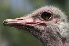 Free Ostrich Royalty Free Stock Images - 5287149