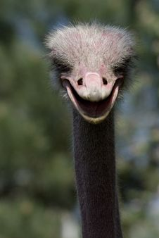 Free Ostrich Royalty Free Stock Photo - 5287155
