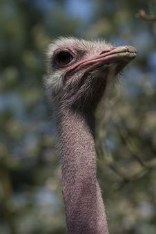 Free Ostrich Stock Photo - 5287170