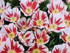 Free Beautiful Tulips Close Up Royalty Free Stock Photos - 5287278