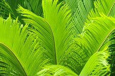Free The Cycad Leaves Royalty Free Stock Photo - 5289125