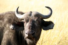 Free Buffalo (Kenya) Royalty Free Stock Image - 5289766
