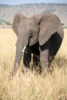 Free Young Elephant In The Grass Stock Photography - 5289852