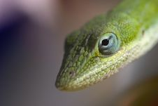 Free Gecko Head Royalty Free Stock Photos - 5289938
