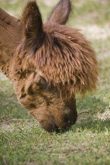 Free Alpaca Royalty Free Stock Image - 5289966