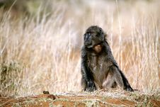 Baboon (South Africa) Stock Photography