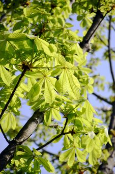 Free Linden Tree Stock Image - 52804541