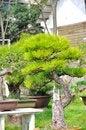 Free Bonsai In Nanjing GuLin Park Stock Photos - 52845043