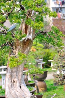 Free Bonsai In Nanjing GuLin Park Royalty Free Stock Images - 52844959