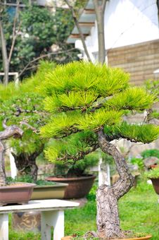 Free Bonsai In Nanjing GuLin Park Stock Photos - 52845043