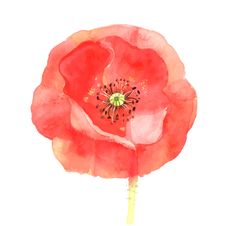 Free Beautiful Red Poppy Royalty Free Stock Photography - 52850837