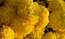 Free Yellow Mums In The Golden Light Of Sunset Stock Photo - 52867420