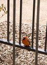 Free Red Cardinal Bird Perched Stock Image - 5291721