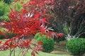 Free Maple Leaf Royalty Free Stock Image - 5292676