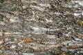 Free Old Tree Bark Texture Royalty Free Stock Photography - 5295147