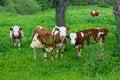 Free Cows Stock Photos - 5295363