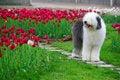 Free English Old Sheepdog Stock Photo - 5296140