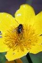 Free Fly On Caltha Palustris Stock Image - 5298441