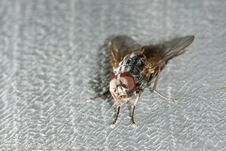 Free House Fly Royalty Free Stock Photo - 5290005