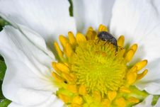 Free Black Insect On Flower Stock Image - 5290031