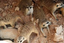 Free Meercat Royalty Free Stock Images - 5290409