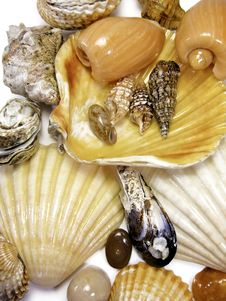 Free Several Sea Shells On White Royalty Free Stock Images - 5290979