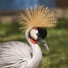 Free Grey Crowned Crane Royalty Free Stock Images - 5291639