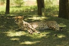 Free Resting Cheetah (Acinonyx Jubatus) Royalty Free Stock Photo - 5291715