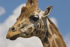 Free Close-up Of Rothschild Giraffe Stock Photography - 5291722