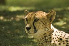 Free Close-up Of Cheetah (Acinonyx Jubatus) Stock Photos - 5291723