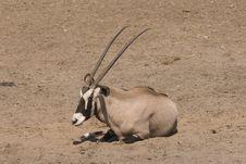 Free Gemsbok (Oryx Gazella) Royalty Free Stock Photography - 5291777