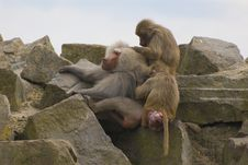 Free Hamadryas Baboons Stock Photos - 5291863