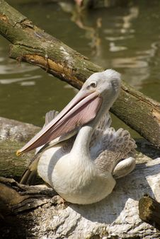 Free Pink-backed Pelican (Pelecanus Rufescens) Royalty Free Stock Photography - 5291867
