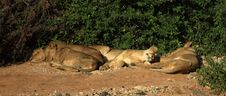 Free Lions Basking In The Sunshine Royalty Free Stock Photos - 5293028