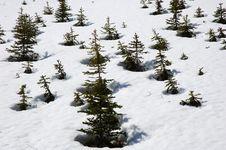 Free Pine Trees On The Snow Stock Image - 5293471