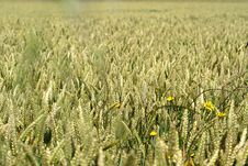 A Wheat Field With Yellow Flowers Stock Photos