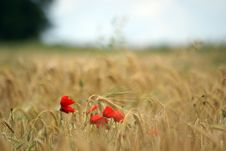 Free Papaver Flower In Wheat Field In France Stock Images - 5293894