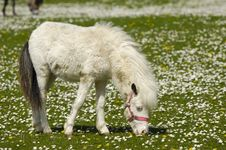 Free White Young Horse Eating Grass Royalty Free Stock Images - 5294379