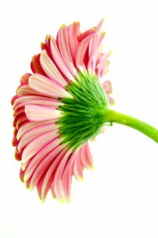 Free Pink Gerbera Stock Photography - 5294742