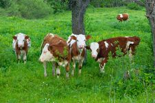 Free Cows Stock Photos - 5295363