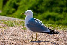 Free Bird Gull On The Sand Stock Photo - 5295740