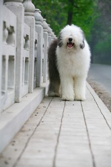 Free English Old Sheepdog Royalty Free Stock Photo - 5296105