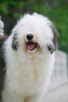 Free English Old Sheepdog Royalty Free Stock Photos - 5296108
