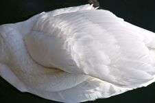 Free Swan Sleeping Stock Image - 5296151