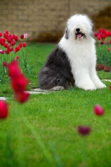 Free English Old Sheepdog Royalty Free Stock Image - 5296186