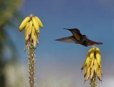 Free Ruby-throated Hummingbird (archilochus Colubris) Stock Image - 5297011