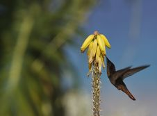 Free Ruby-throated Hummingbird (archilochus Colubris) Royalty Free Stock Image - 5297026