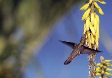 Free Ruby-throated Hummingbird (archilochus Colubris) Stock Photos - 5297053