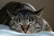 Free Napping Cat Royalty Free Stock Photography - 5297137